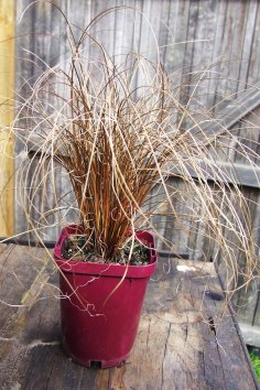Carex comans (Bronze)