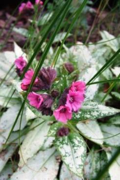 Pulmonaria 'Silver Bouquet'