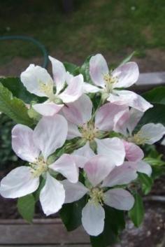 Apple - Malus domestica 'Royal Gala'.