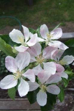 Apple - Malus domestica 'Royal Gala'.