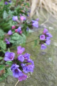 Unknown pulmonaria.
