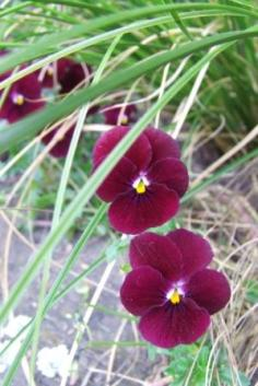 Unknown Viola
