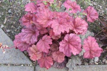 Heuchera 'Berry Smoothie'.