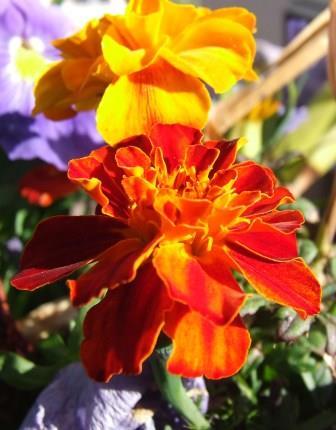 Marigold Tagetes patula singles