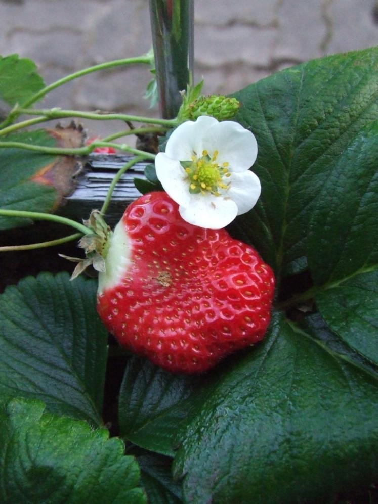 Strawberry Chandler