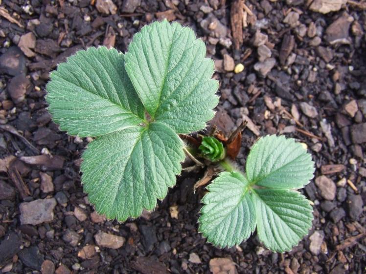 Strawberry Camarosa