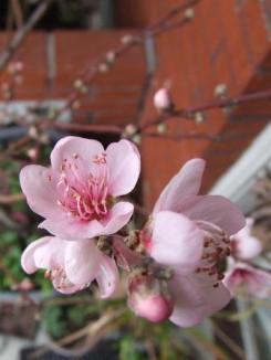 Peach 'Golden Queen'.