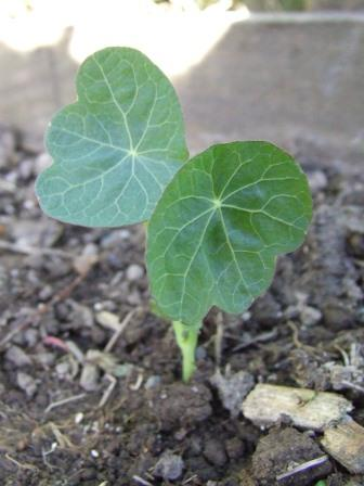 Nasturtium - Tropaeolum minus 'Top Flowering Black Velvet'.