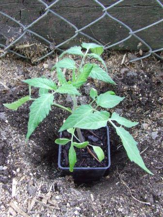 A tomato 'Amish Paste' waiting to be planted.