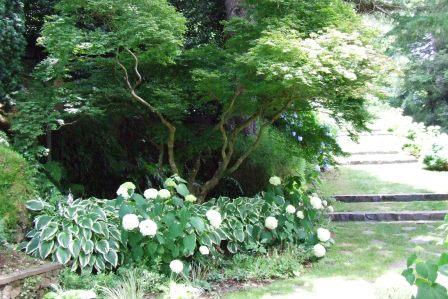 Hydrangeas and hostas