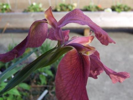 Iris nelsonii - Abbeville Red