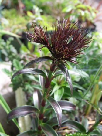 Dianthus barbatus var. nigrescens 'Sooty'