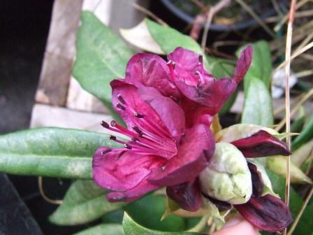 Rhododendron 'Black Sport'