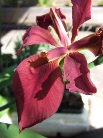 Iris nelsonii