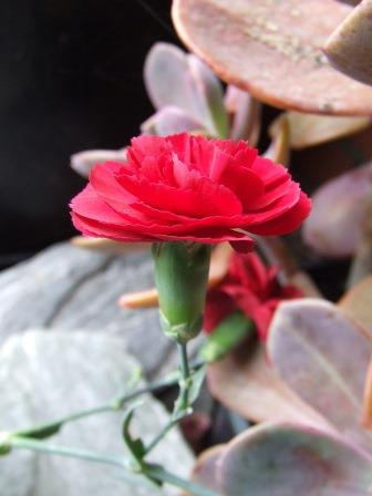 Dianthus 'Passion'