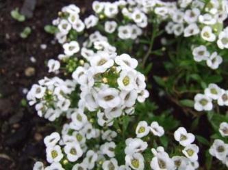 Lobularia maritima - Sweet Alyssum