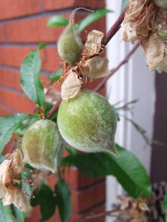 Peach tree - Prunus persica 'Golden Queen'.