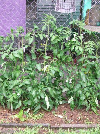Tomato plants,each with three laterals/main stems.