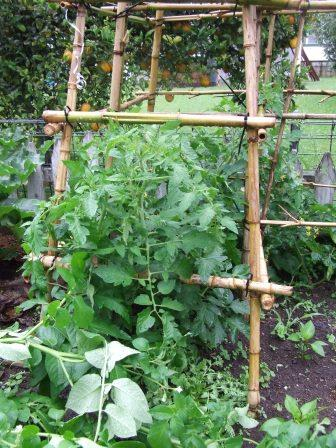 Tomato plants that haven't received their maintenance yet.