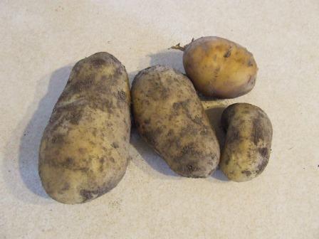 Potato 'Agria'