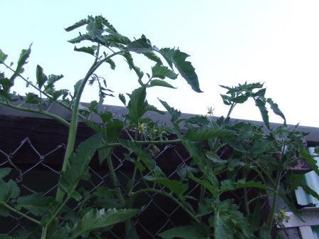 Tomatoes reaching carport