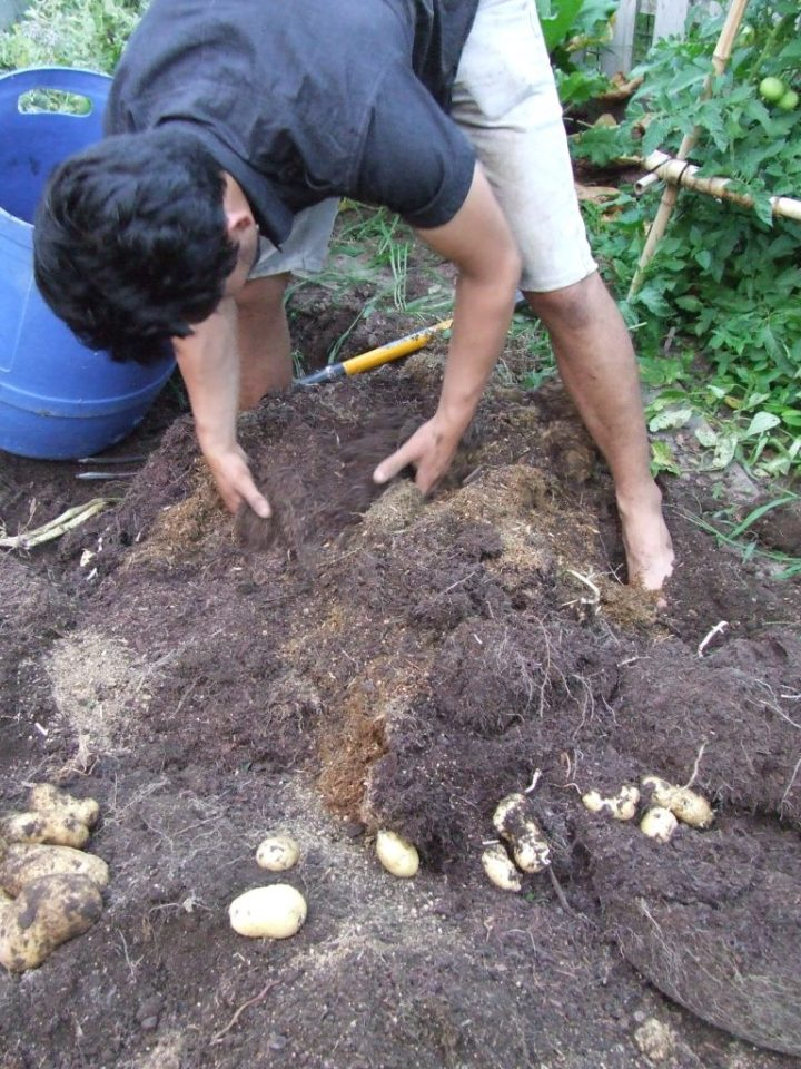 Harvesting barrel potatoes