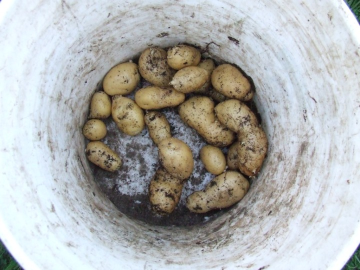Potato barrel harvest