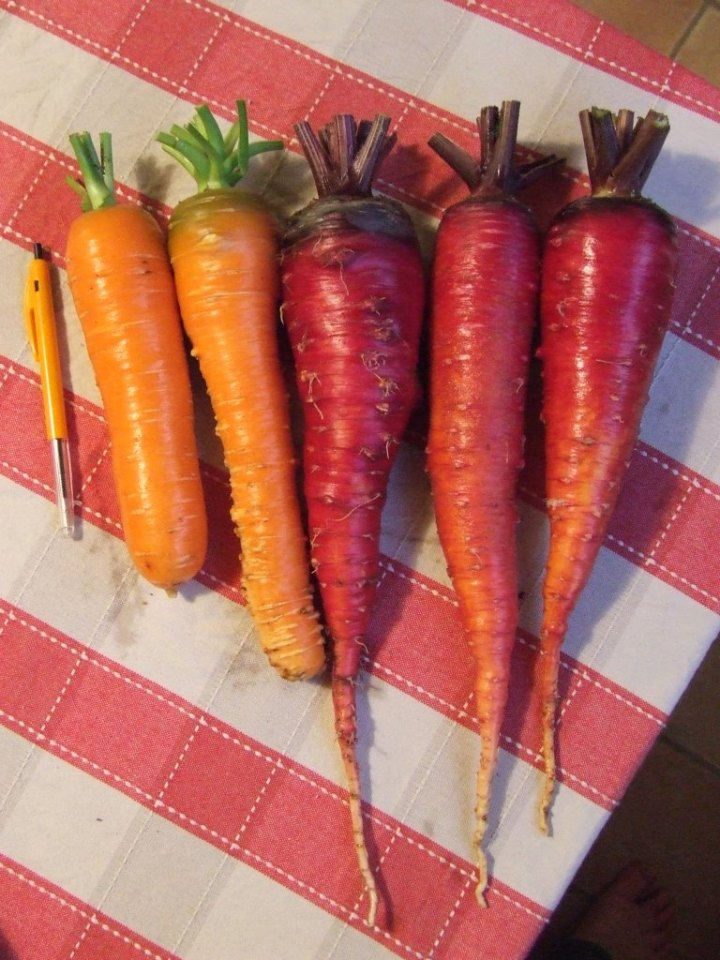 Carrots - 'Bastille' & 'Cosmic Purple'