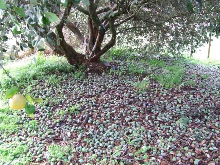 The feijoa carpet
