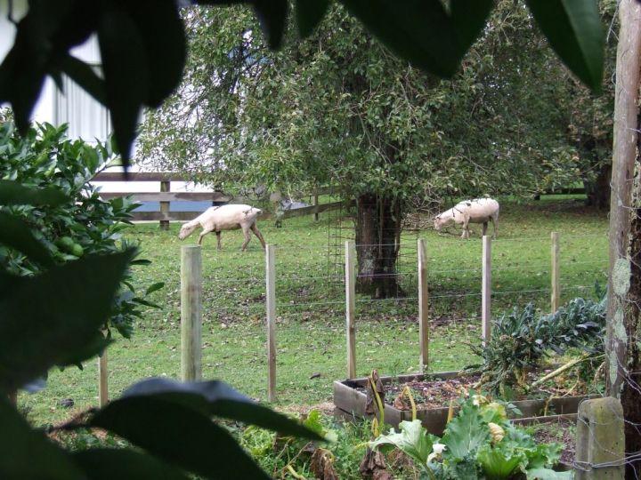 Neighbour's sheep