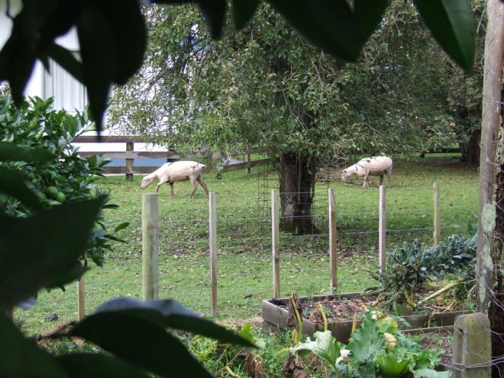 Neighbour's sheep