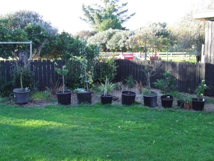 Potted fruit trees.