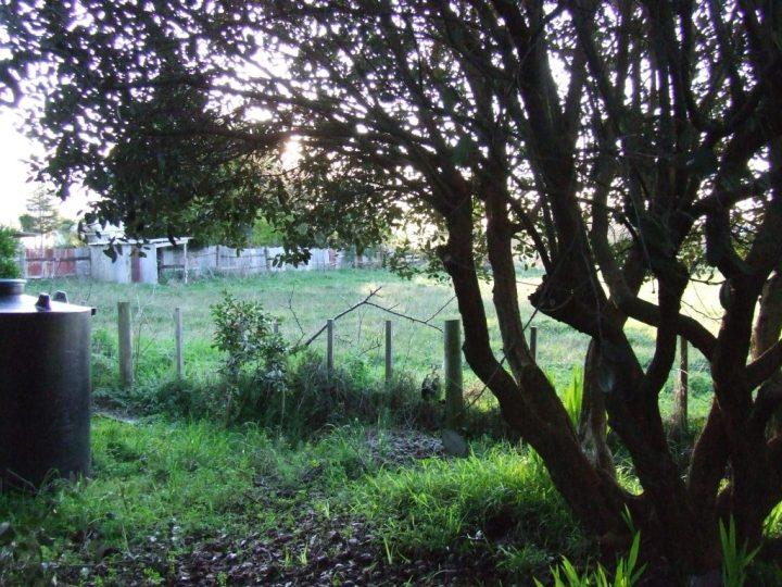 Feijoa tree pruned