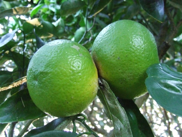 'Unknown citrus' fruit