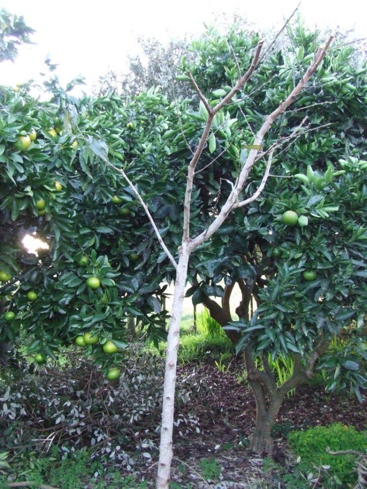 Peach/nectarine/almond tree