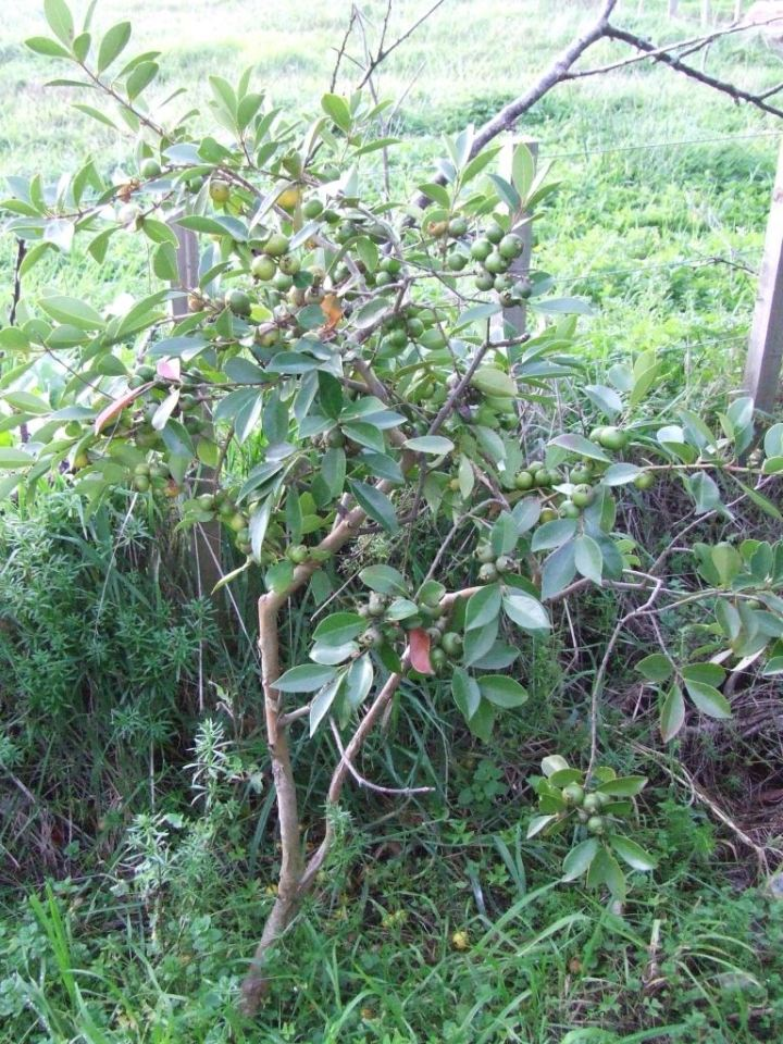 Cherry guava tree