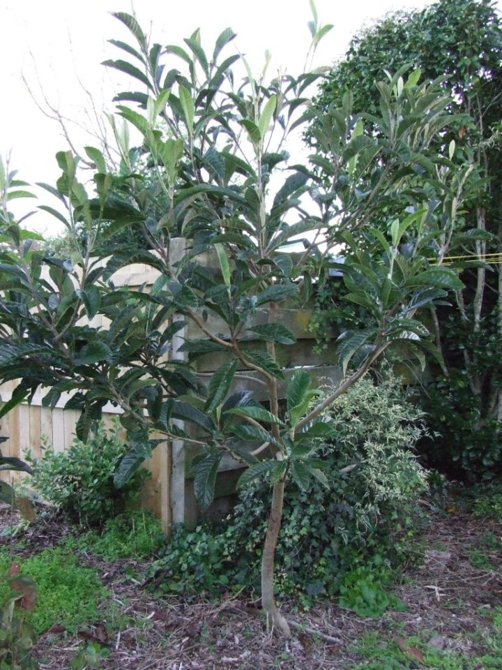 Another loquat tree