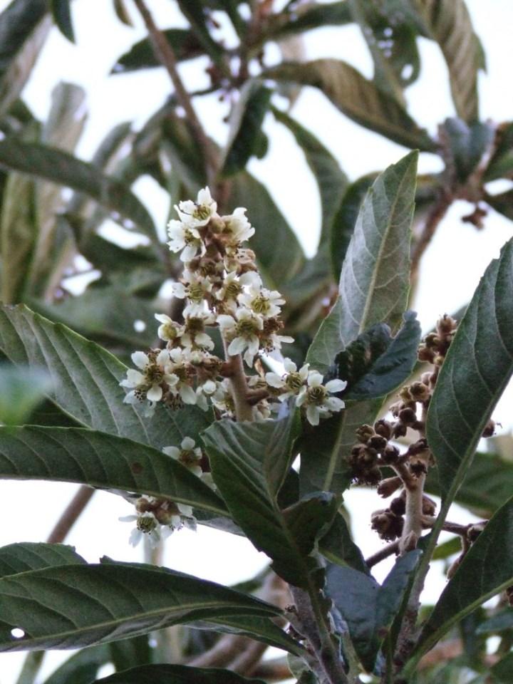 Loquat flowers