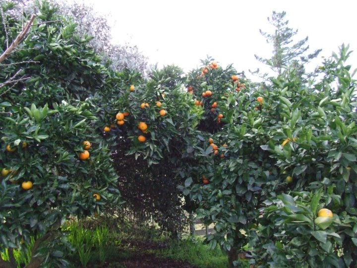 Grapefruit, orange, tangelo and lemon trees