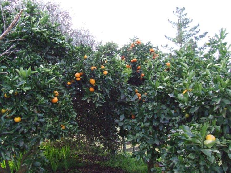 Grapefruit, orange, tangelo and lemon trees