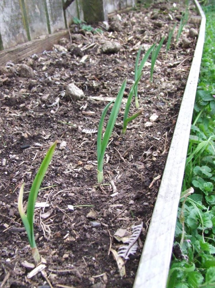 Garlic shoots
