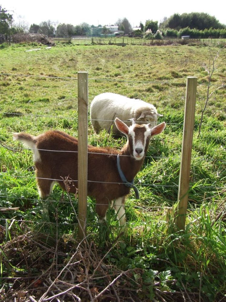 Mr Goat and Mr Sheep