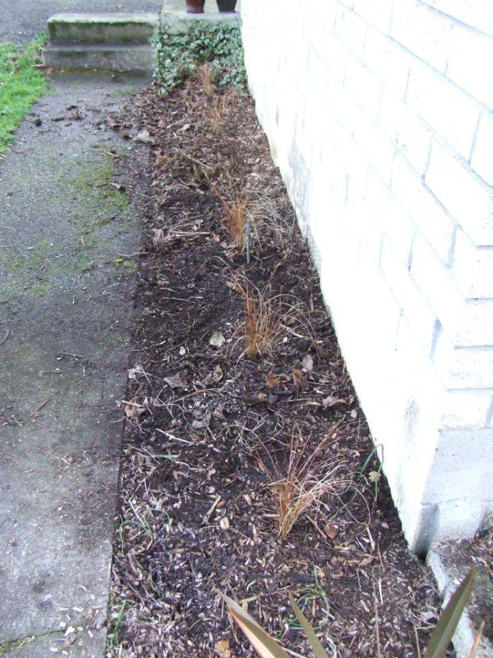 Carex tenuiculmis