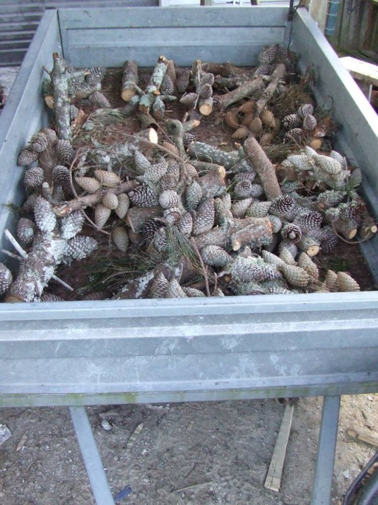 Pinecones for kindling
