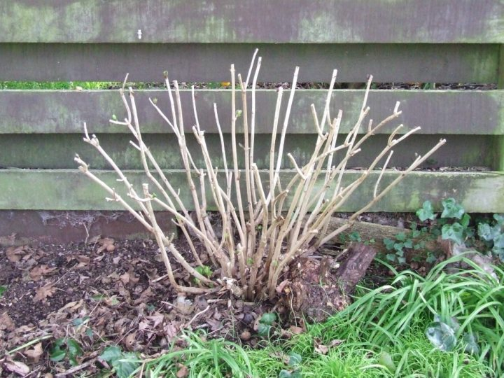 A pruned hydrangea