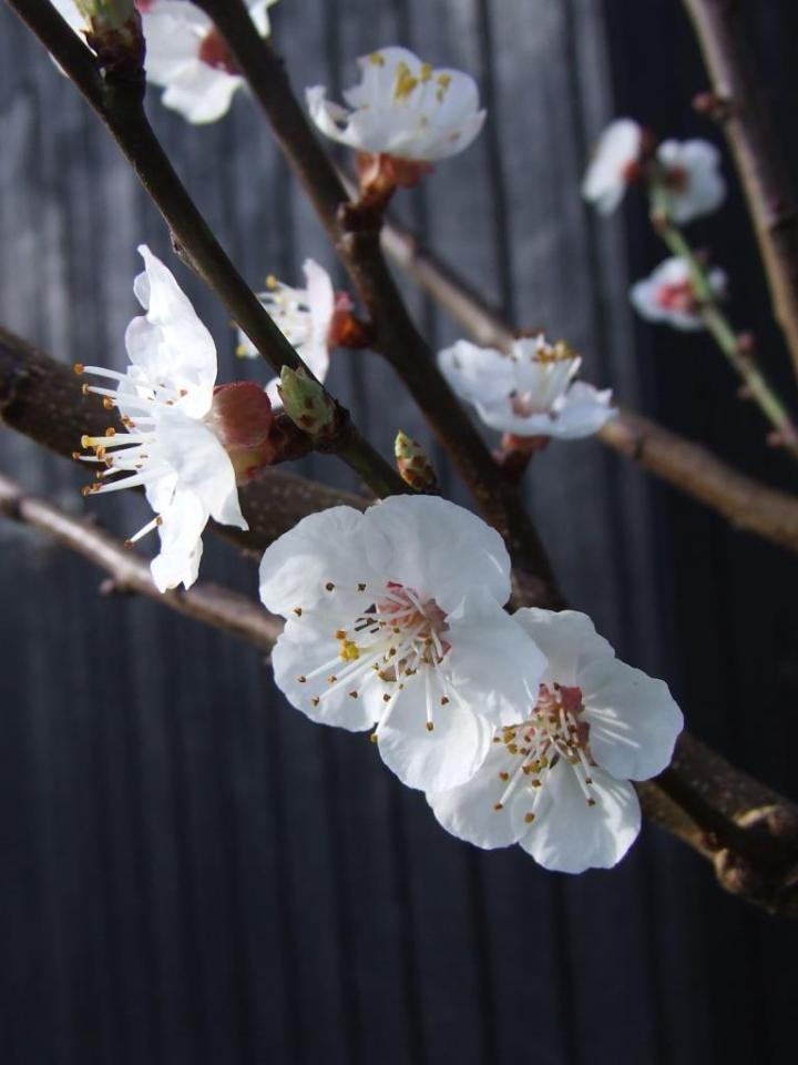 The hard-pruned fruit tree flowers