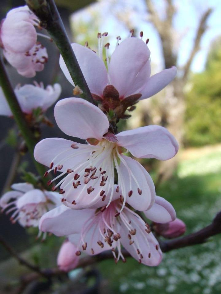 'Golden Queen' peach tree flowers