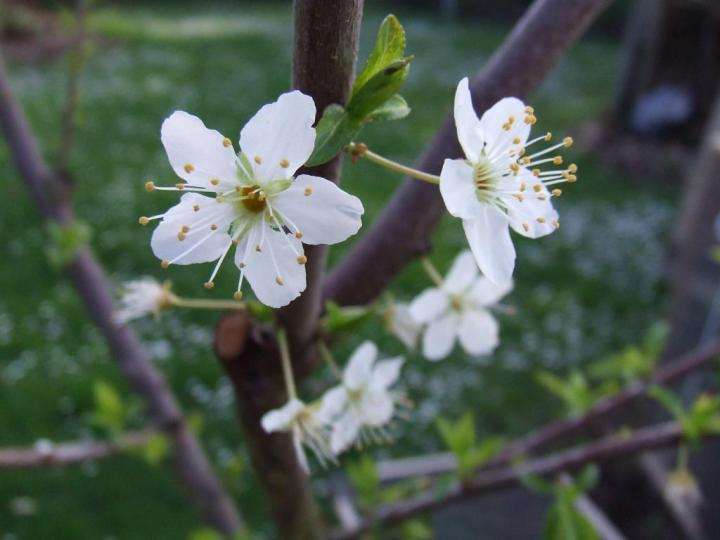 'Billington' plum tree flowers