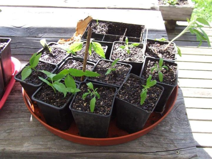Tomato and chili seedlings