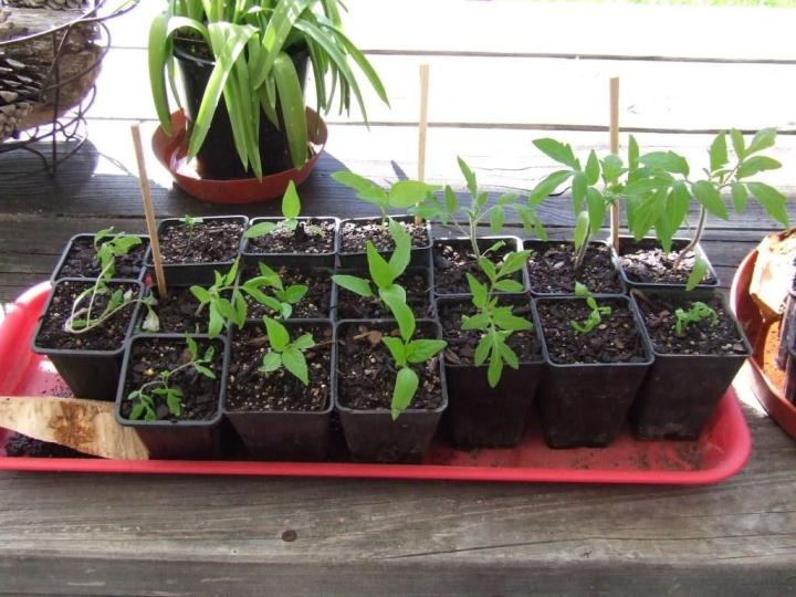 Tomato and capsicum seedlings
